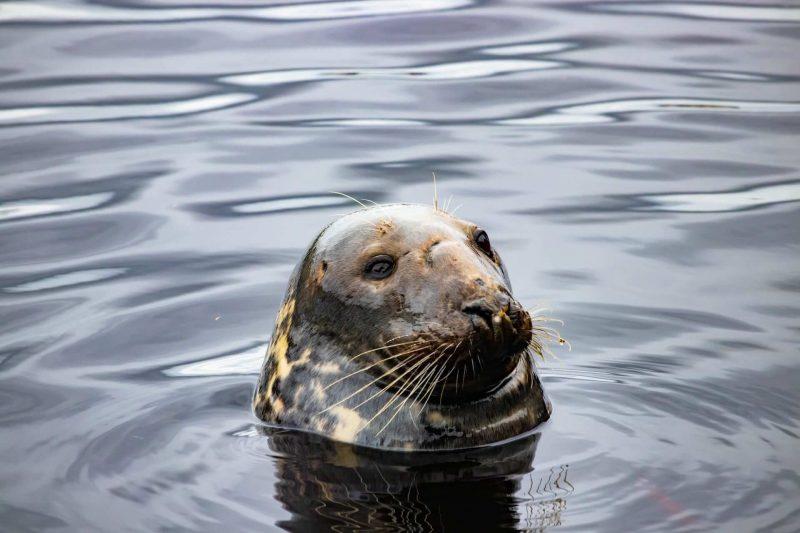 Stornoway seals