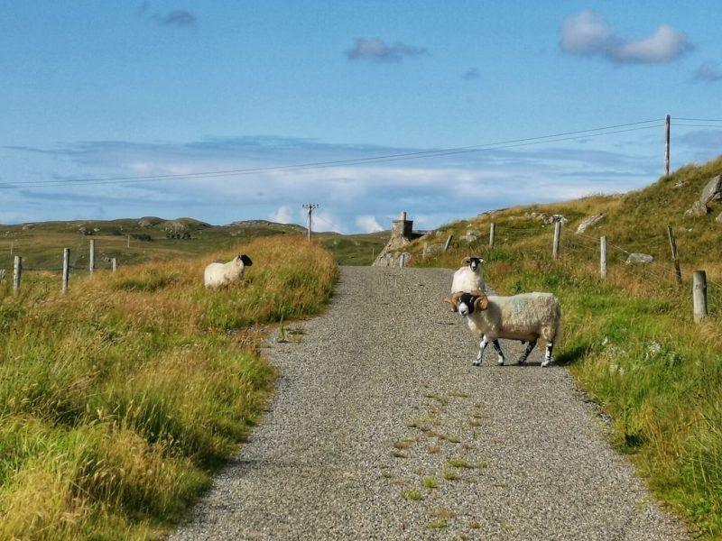 Isle Lewis sheep
