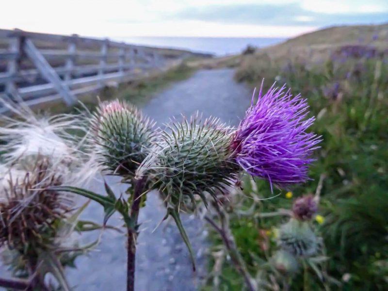 Cardo Scozia